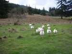 Pastured Turkeys